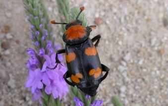 What It Means: American Burying Beetle Status Change